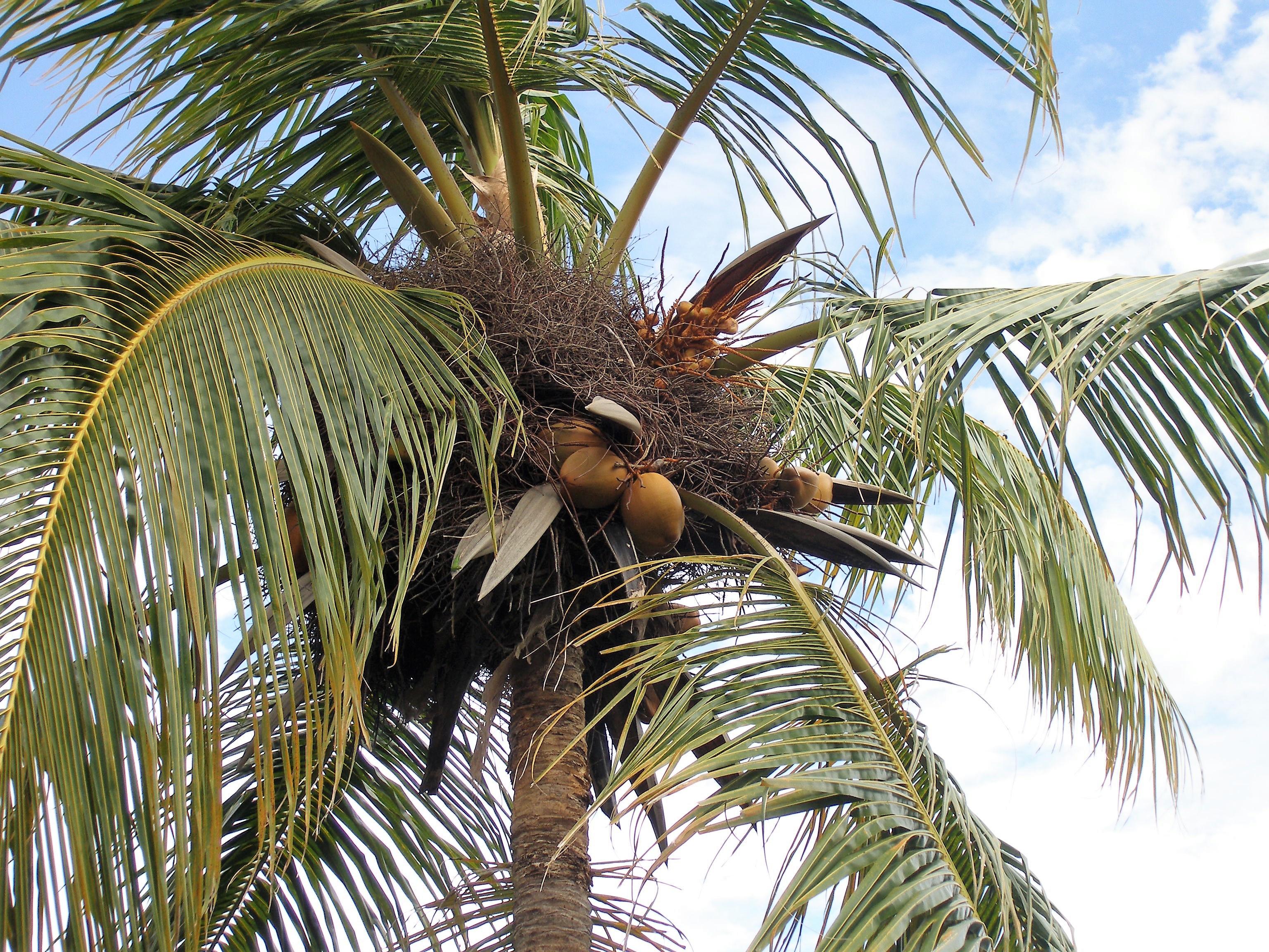 cocotero de Playa Bávaro
