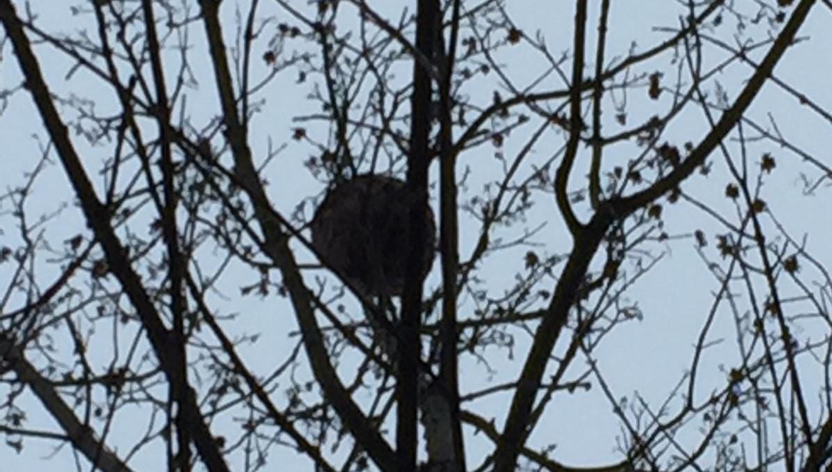 Retirado un nuevo nido de avispas velutinas en O Aguillón de A Rúa